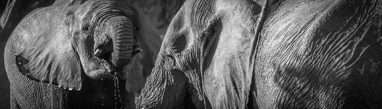 due elefanti del deserto in Namibia