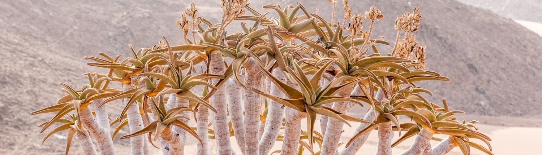 albero faretra nel deserto della Namibia