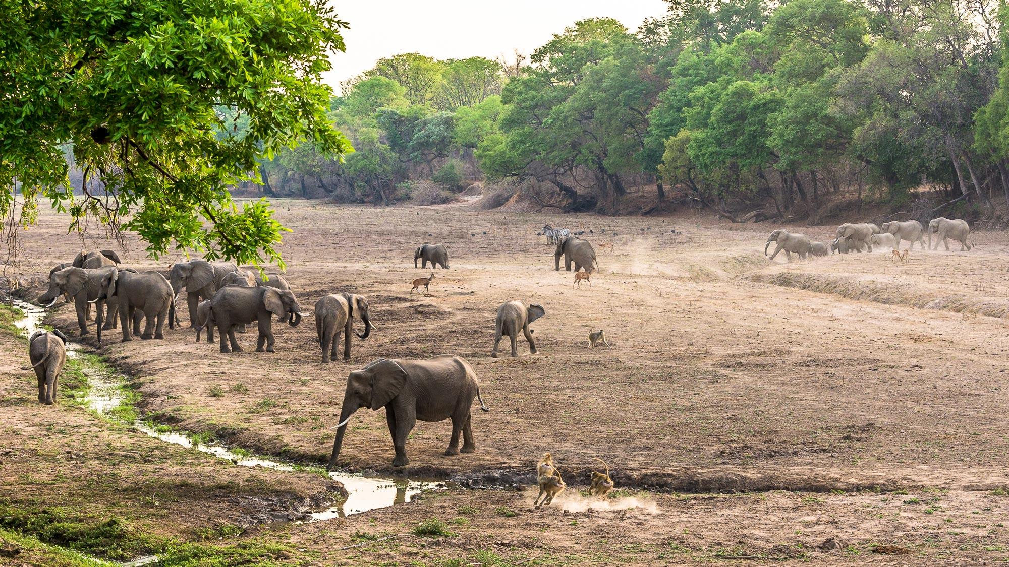 Elephants Southern Luangwa Zambia