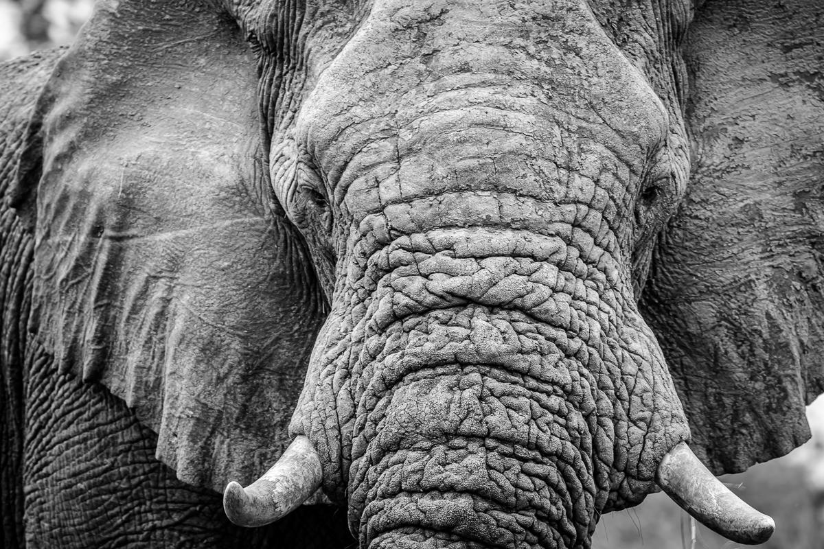 ritratto di un Elefante in bianco e nero