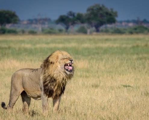 fotosafari, Leone maschio in Botswana