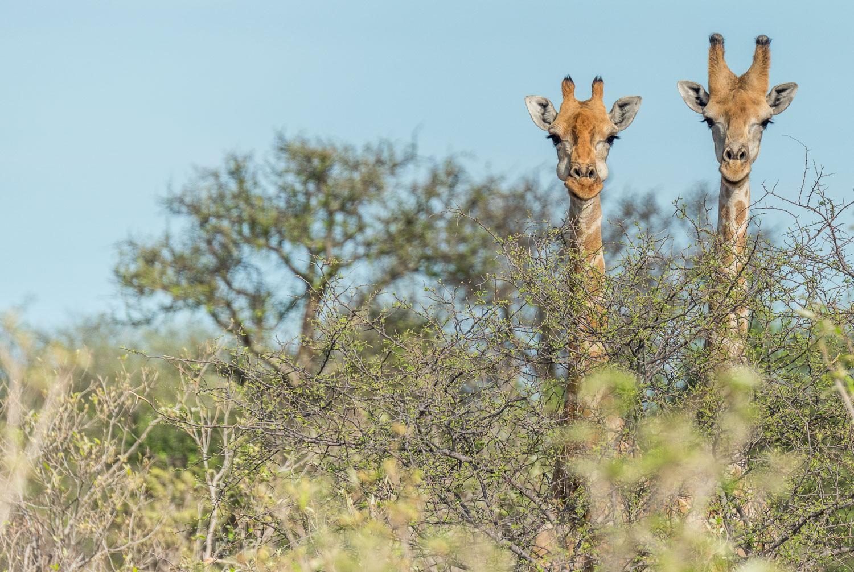 giraffe nel parco del Etosha