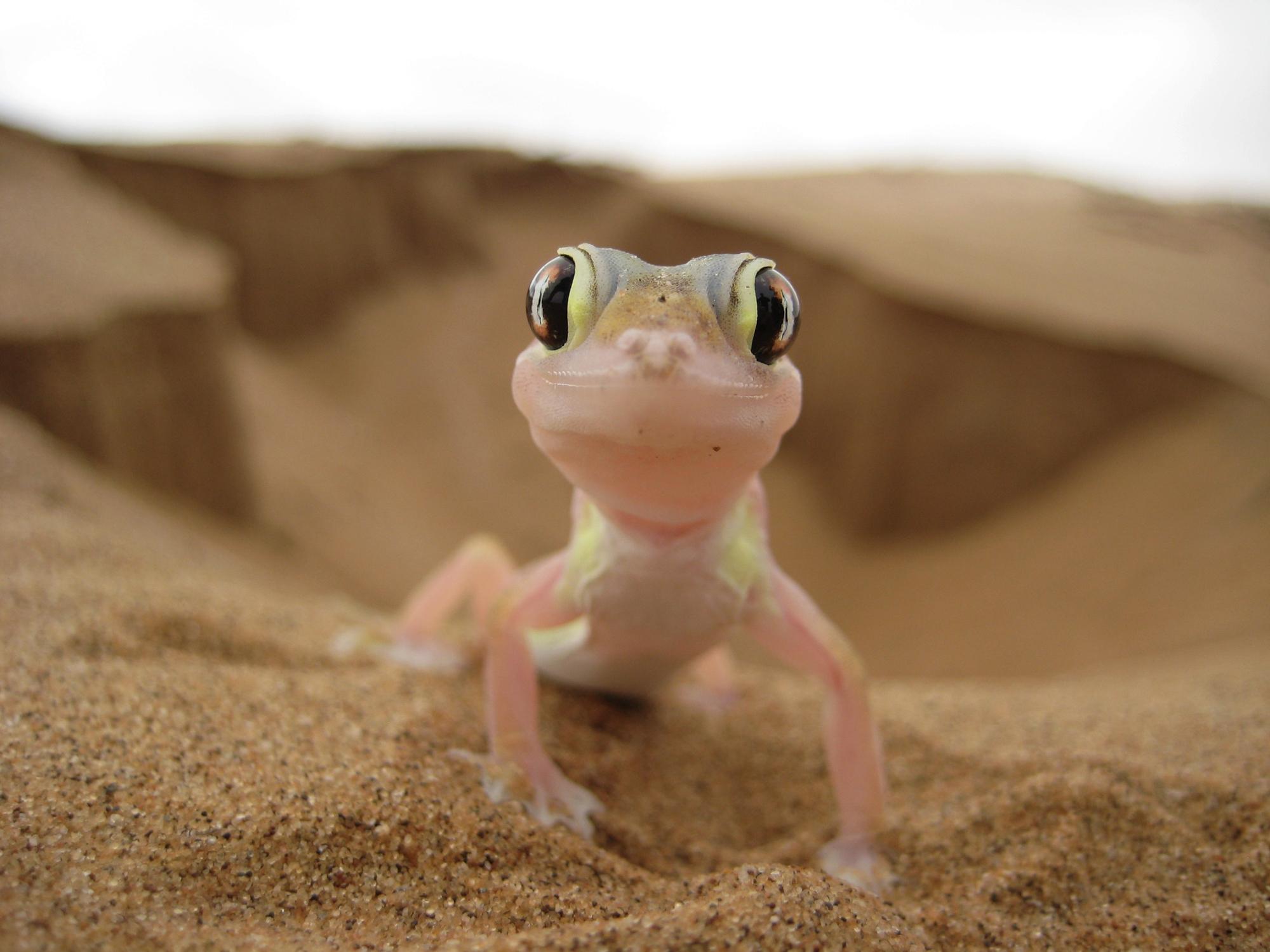 il deserto è vivo, un gecko nelle dune vicino a Swakopmund