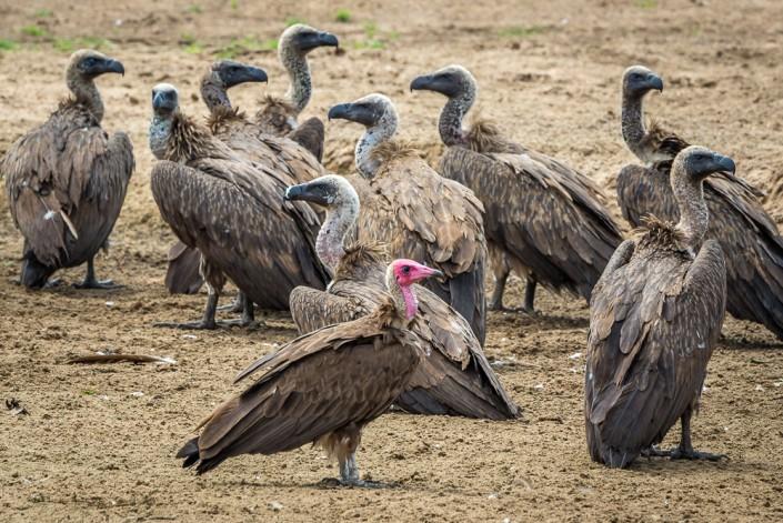 safari in Africa, avvistamento avvoltoi nel South Luangwa National Park in Zambia