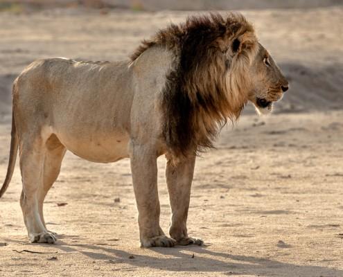 fotoreisen in Afrika, Loewe