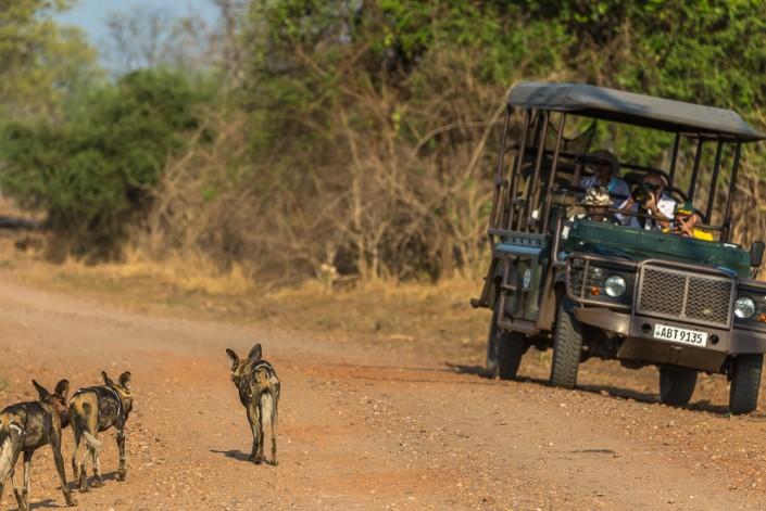 Fotosafari, african wild dogs, southern luangwa national park