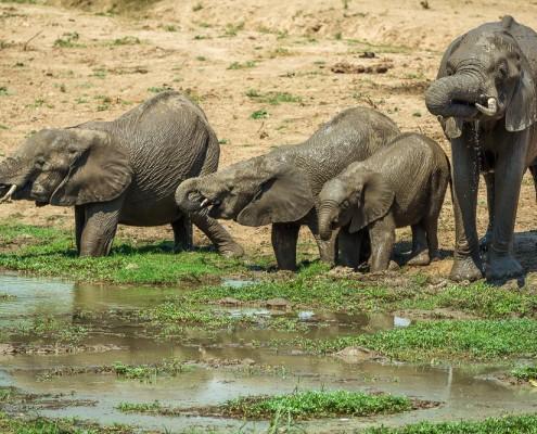 elephants southern luangwa national park