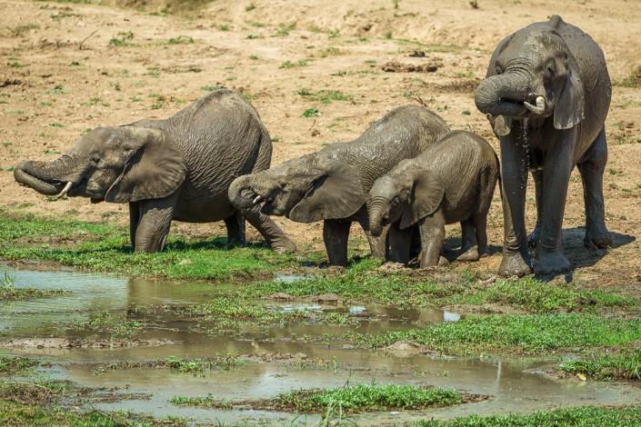 Zambia, Elefant, Southern Luangwa Nationalpark