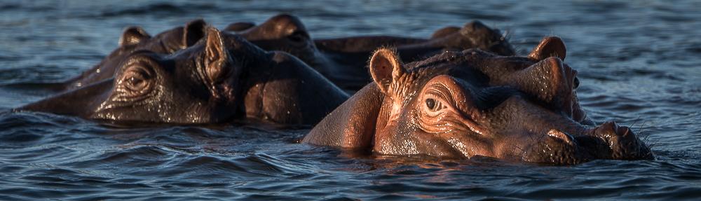 ippopotami nello Zambezi