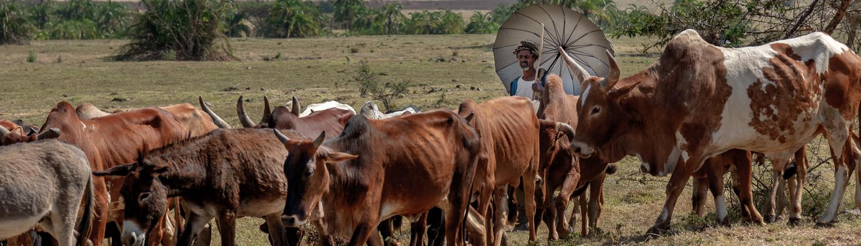 pastore con i suoi buoi in Etiopia