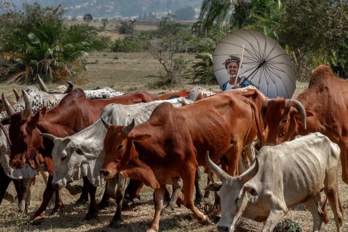 Un pastore con i suoi buoi in Etiopia