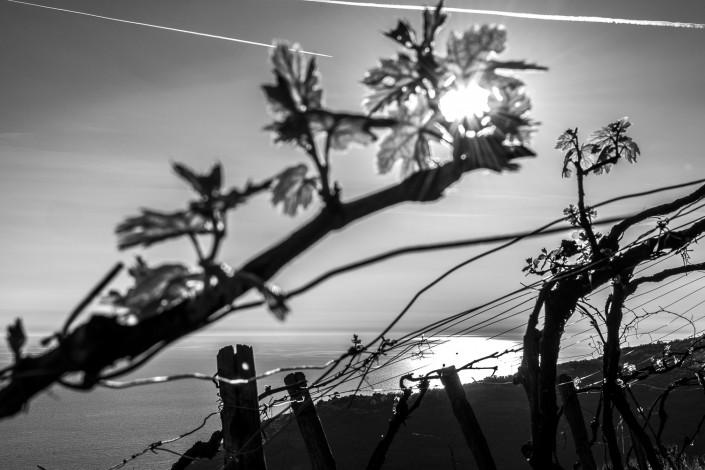 Cinque Terre, vigneto sopra il mare in bianco e nero