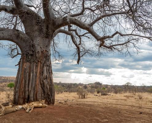un branco di leoni durante la siesta sotto un albero di Baobab nel Ruaha National Park, Tanzania