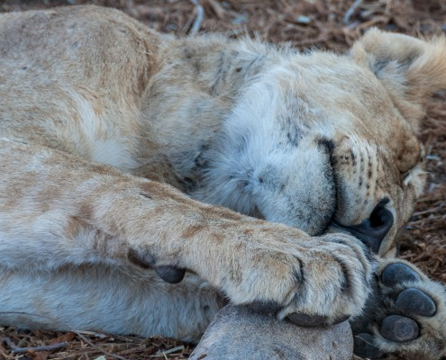 Ruaha National Park, Tanzania, lioness sleeping