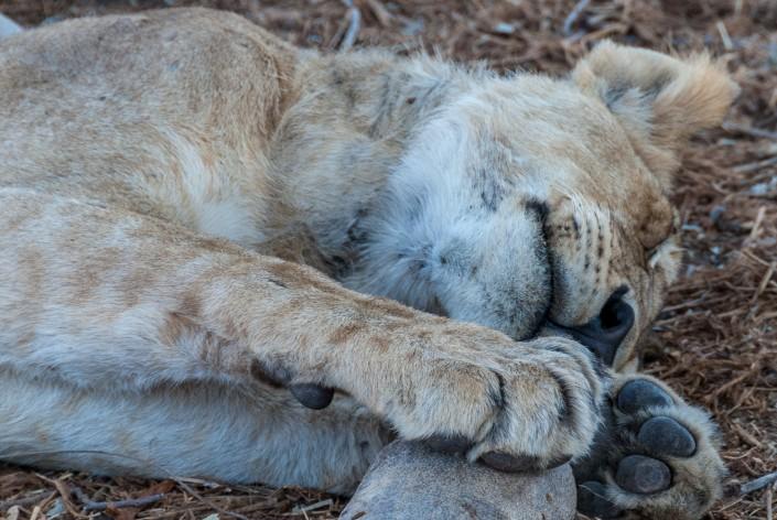 Ruaha National Park, Tansania, schlafender Loewe
