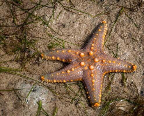 Tansania, Zanzibar, Seestern, stella marina