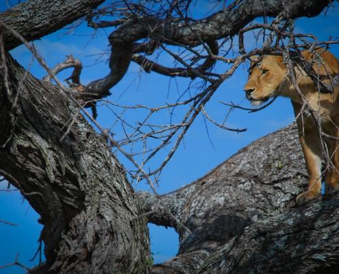 Leoni che scalano gli alberi nel parco nazionale del lago Manyara in Tanzania