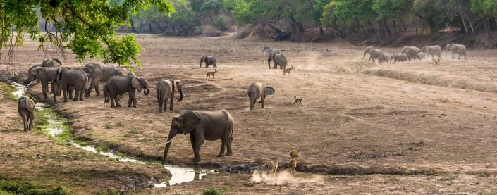 zambia, mfuwe lodge, elephants