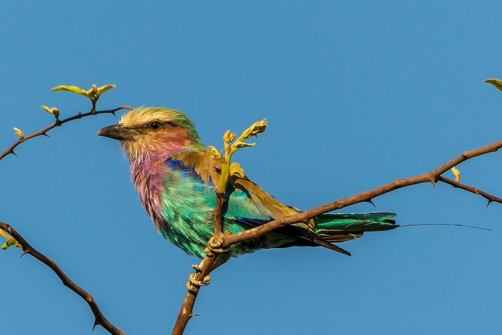 Zambia, lilac breasted roller