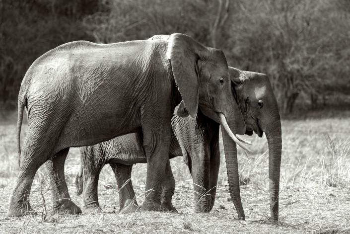 Zambia, elephant family