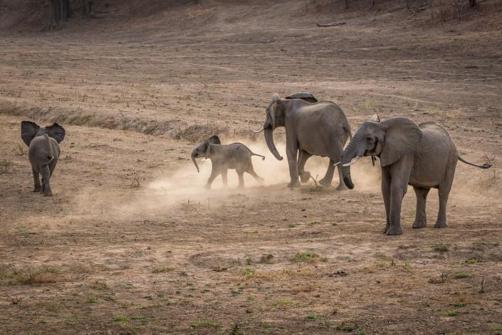 south luangwa national park elefanti che giocano