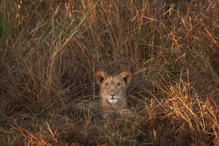 zambia, lion cub in kafue np