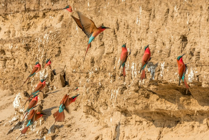 Carmine bee eaters in Southern Luangwa NP