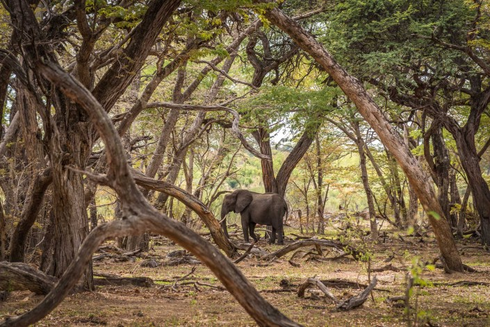 in the acacia forest, hwange np