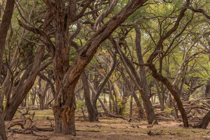 hwange np,in the acacia forest