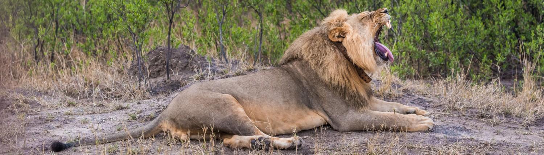 ein Löwe im hwange Nationalpark