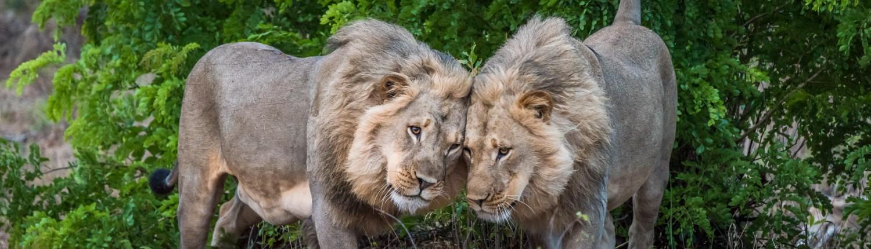 zwei Löwen im hwange park