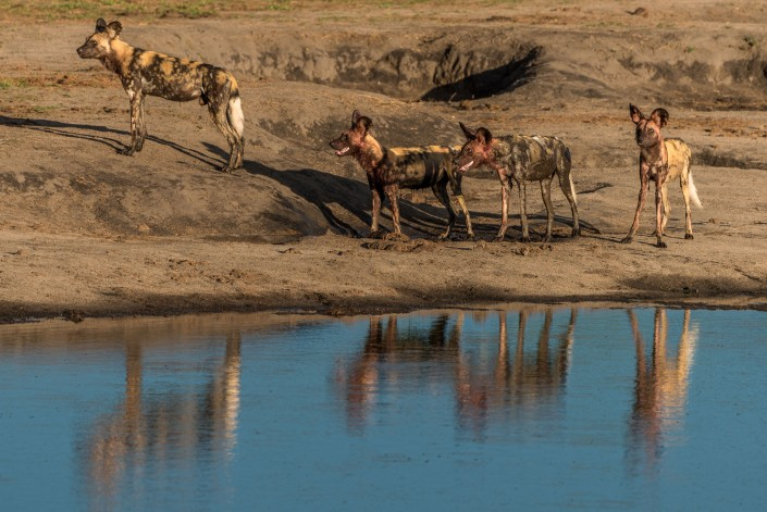 Hwange Nationalpark, afrikanische wildhunde