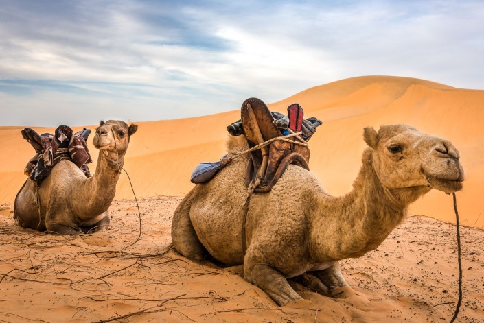 Senegal, camels for tourist excursions in the Lompoul desert