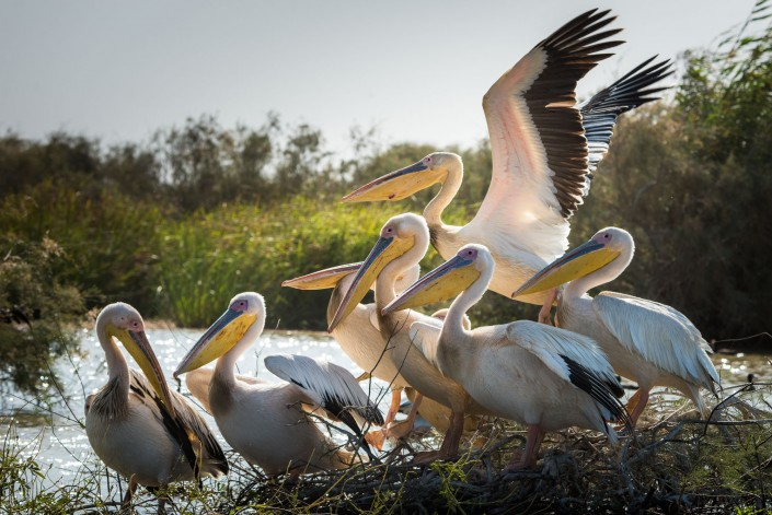 Senegal Pelicans in the National Park Djoudj