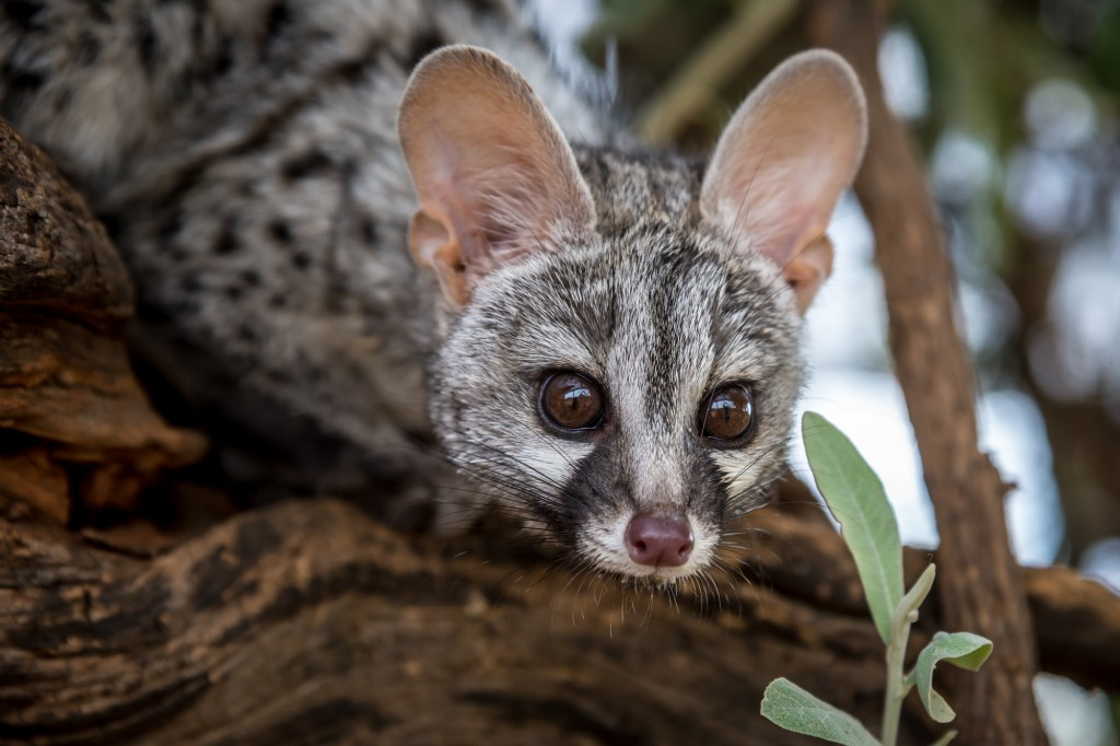 a genet cat in namibia