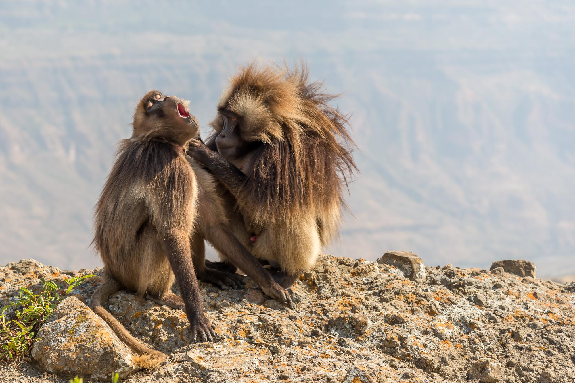 due scimmie gelada a spulciarsi