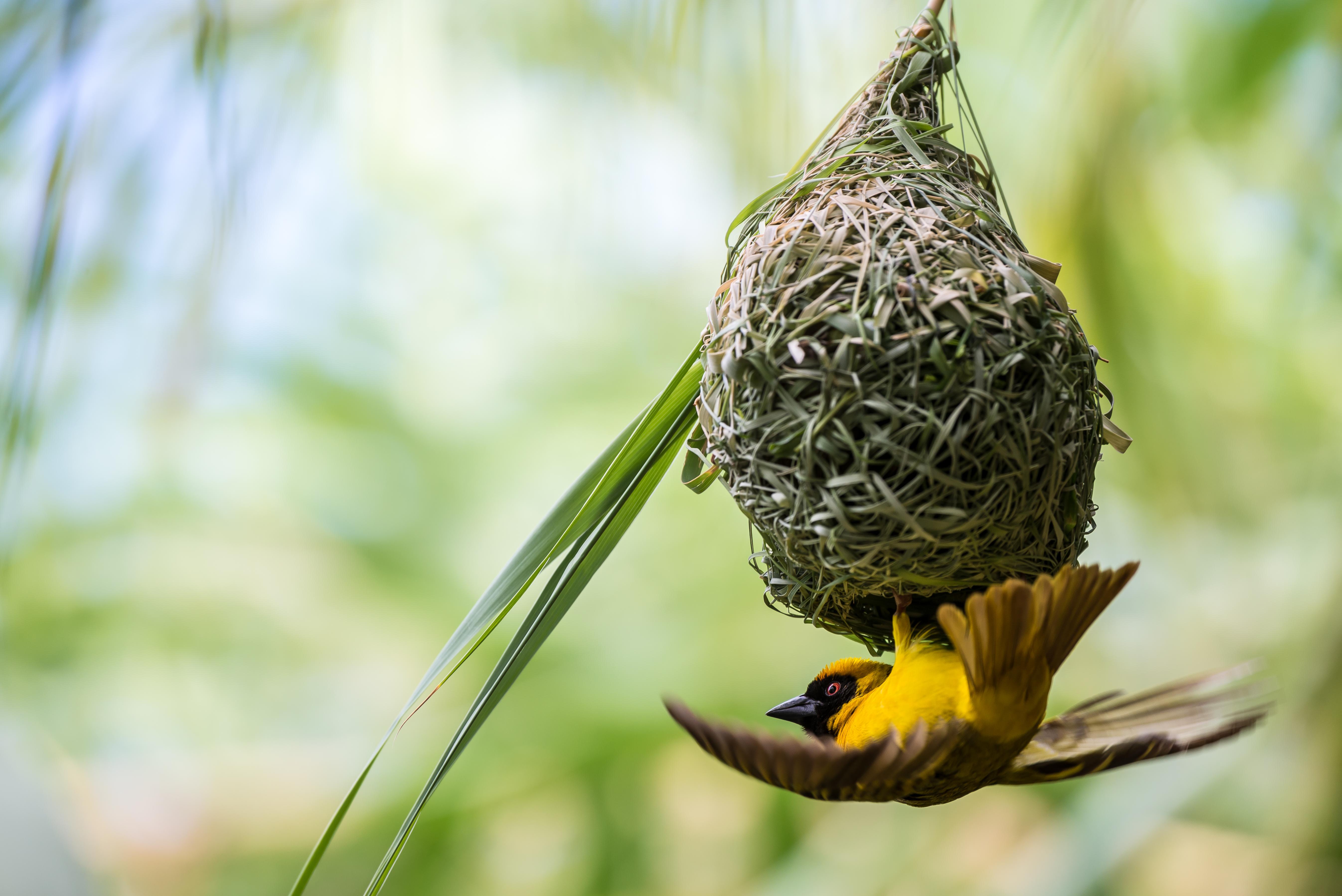 uccello tessitore costruendo il suo nuovo nido