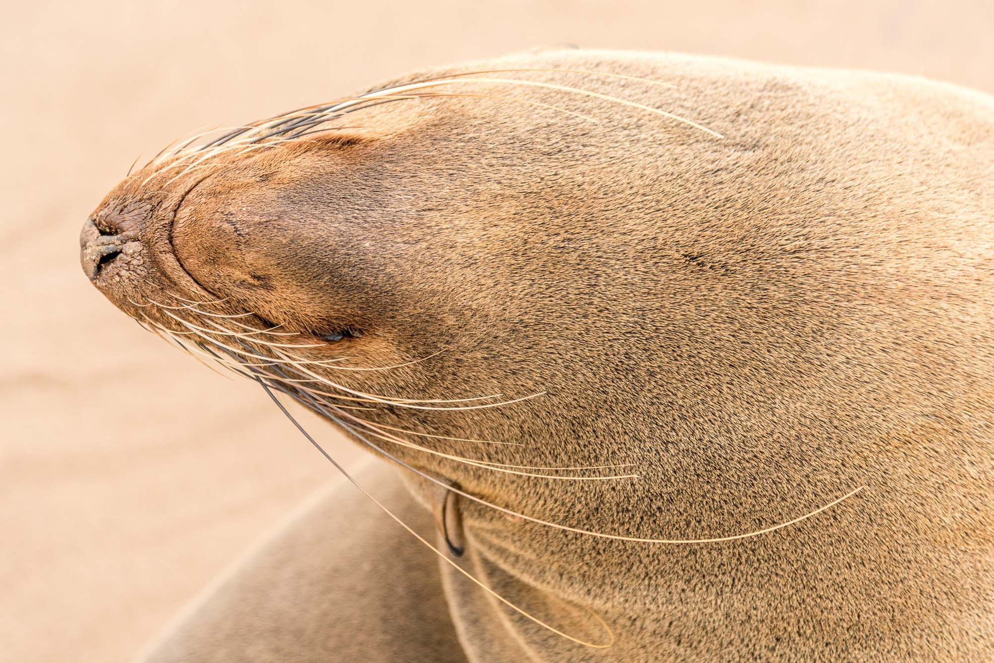 cape cross seal close up namibia