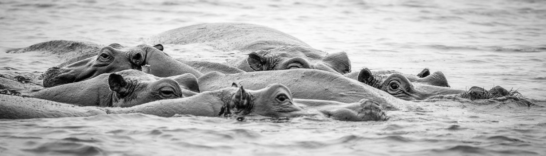 ippopotami nel delta del Okavango in Botswana, foto in bianco e nero