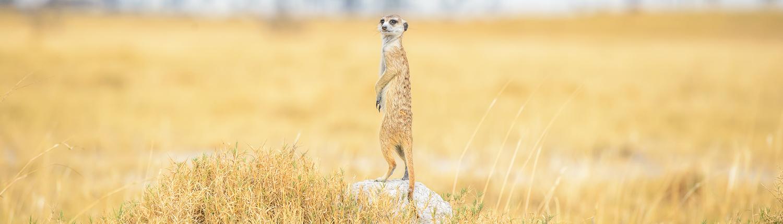 Un suricato nel Kalahari in Botswana