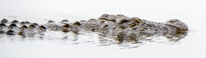 Africa, Botswana, Okavango Delta. coccodrillo a caccia