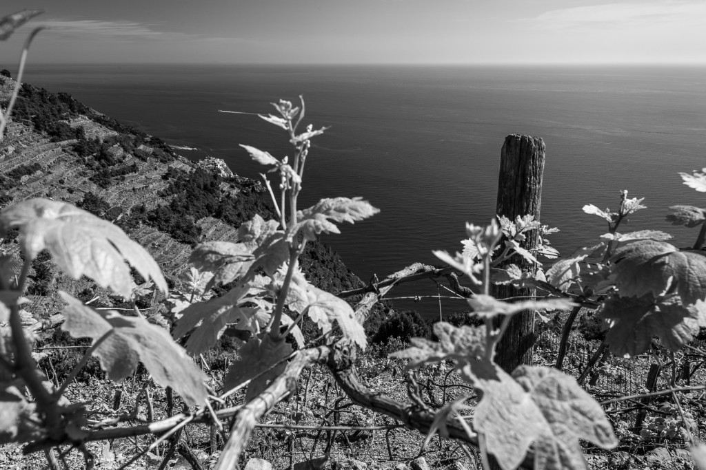 vineyards in the cinque terre black and white