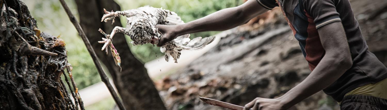 Opfer eines Hahns am Fetisch Dankali in Benin