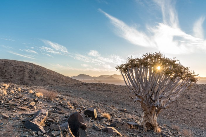 Quivertree, Köcherbaum, Namibia