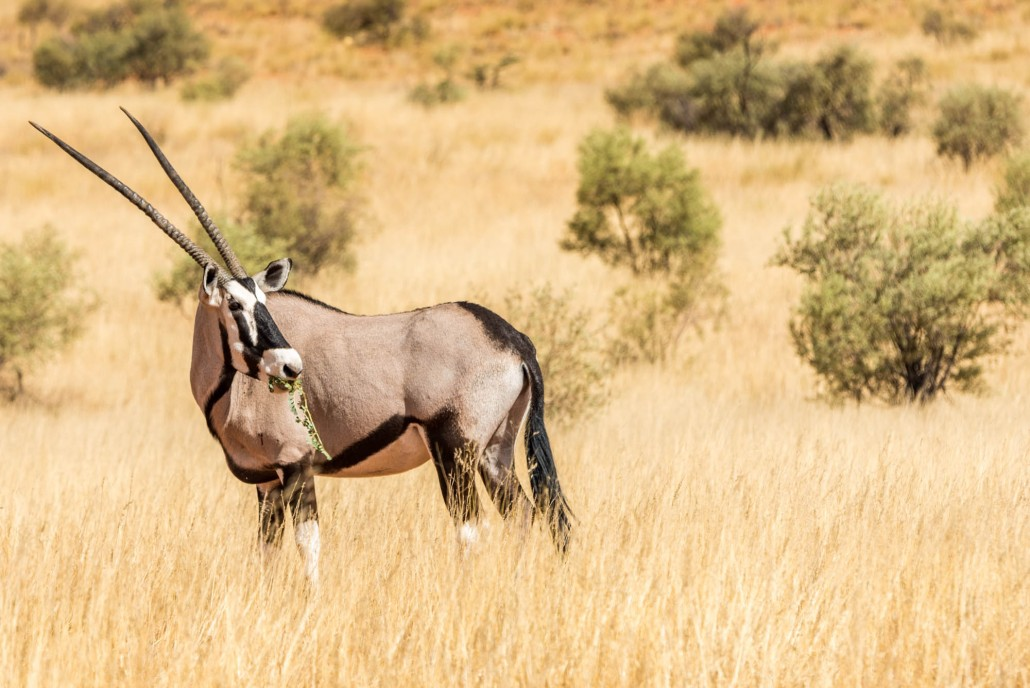 Oryx in Namibia, Africa
