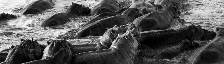 ippopotami in bianco e nero durante un fotosafari