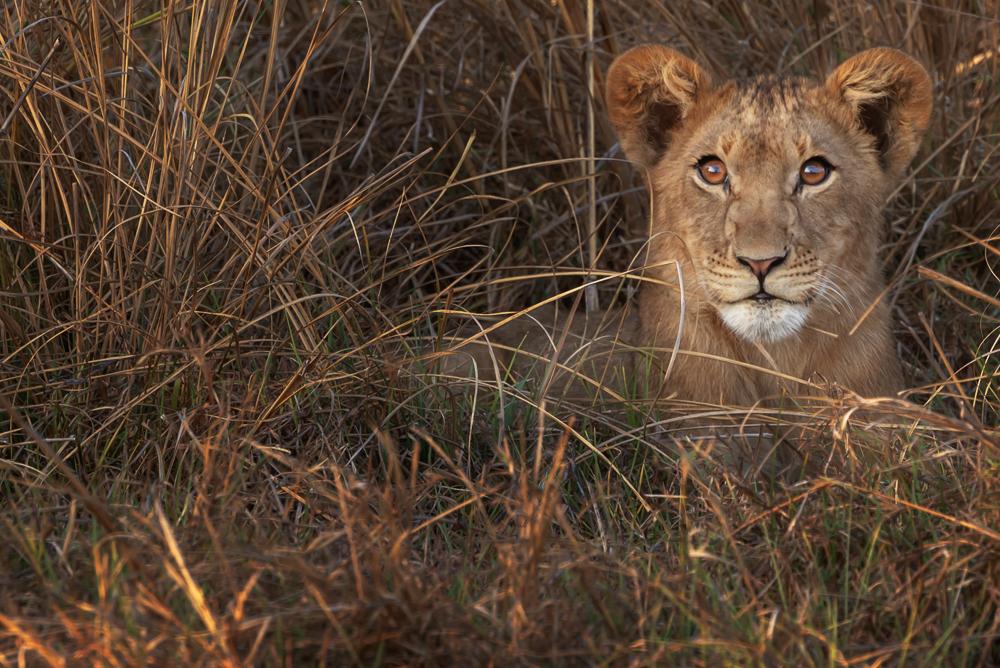 cucciolo di leone, parco nazionale del Kafue
