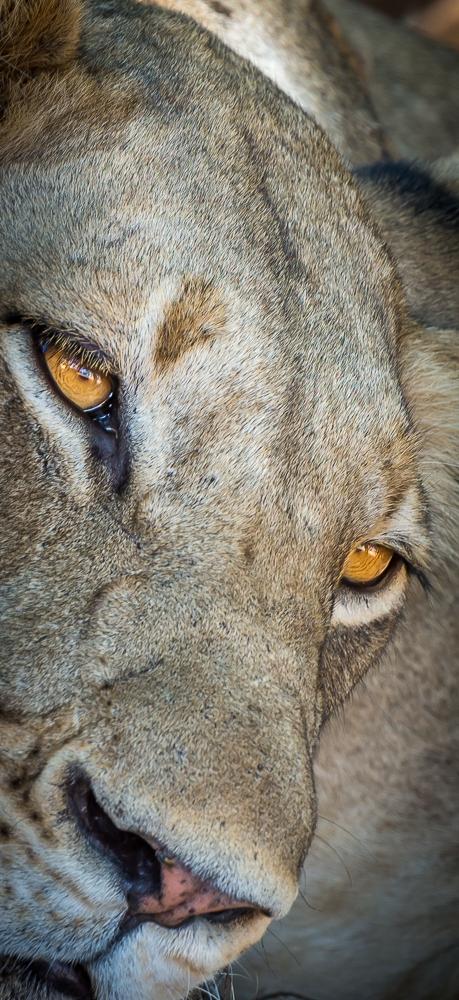 leonessa nel parco nazionale del Kafue in Zambia