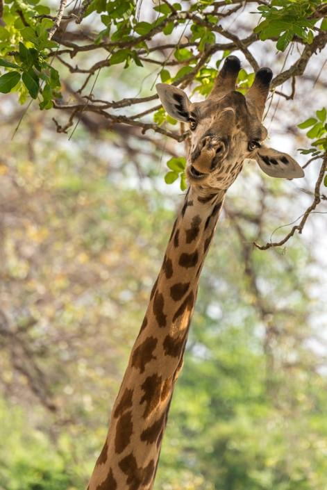 giraffa, southern luangwa national park, Zambia
