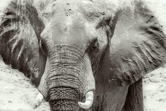 Elefante nel Southern Luangwa park